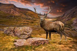 Glas schilderij landschap hert