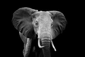Glas schilderij grey elephant