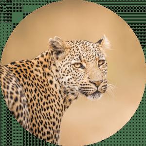 Rond beton schilderij luipaard