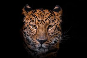 Glas schilderij luipaard zwart