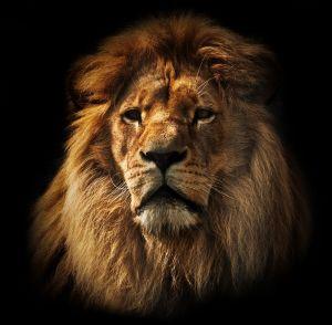Beton schilderij lion