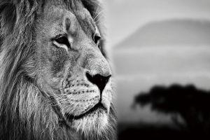 Glas schilderij zwart wit foto leeuw