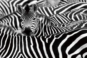 Glas schilderij kudde zebra's