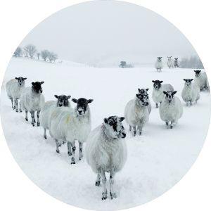 Rond glas schilderij kudde schapen 80 cm