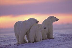 Drie ijsberen op de Noordpool met zonsondergang op glas