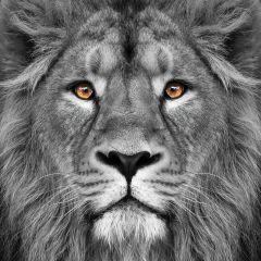 Glas schilderij leeuw 80x80