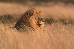 Glasschilderij hooggras leeuw 120x80