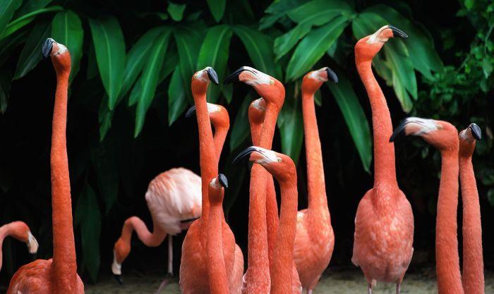 Dieren Schilderijen: Dibond schilderij flamingo's