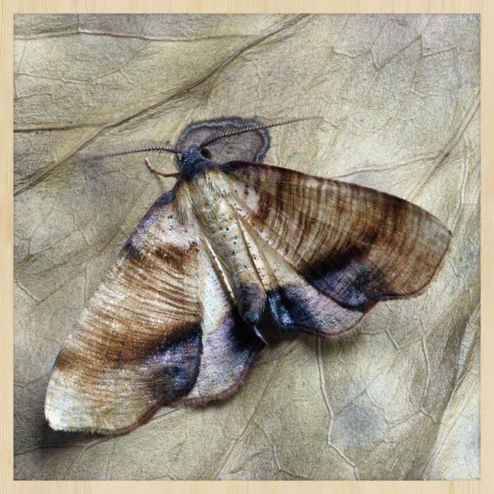 Dieren Schilderijen: Vlinder Mot Wonderful Life Collectie Wandkraft Forex Schilderij