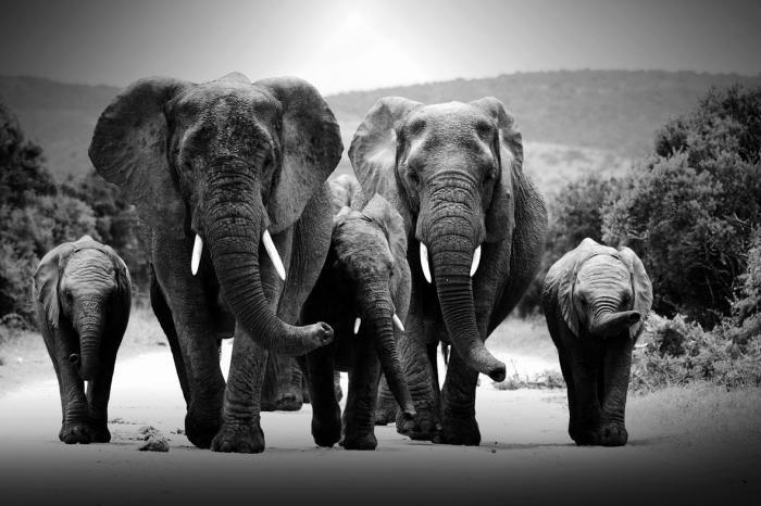 Dieren Schilderijen: Glas schilderij twee olifanten en 3 kalven 160x80