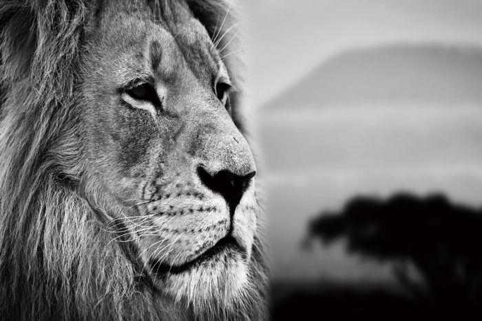 Dieren Schilderijen: Glas schilderij zwart wit foto leeuw