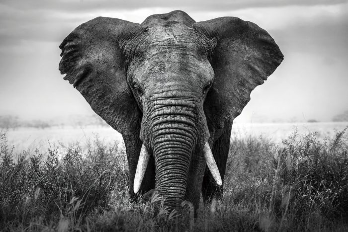 Dieren Schilderijen: Glas schilderij krachtige olifant