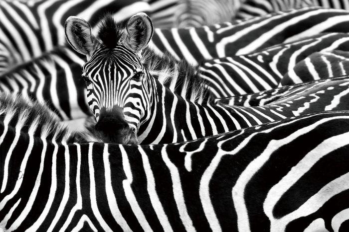 Dieren Schilderijen: Glas schilderij kudde zebra's