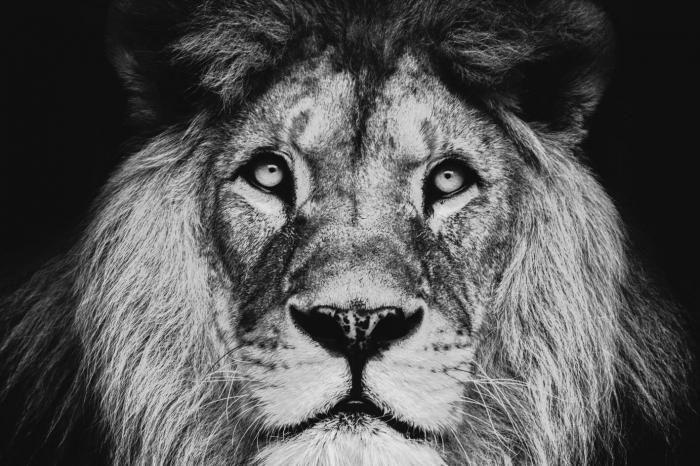 Dieren Schilderijen: Glas schilderij leeuw close up 120x80