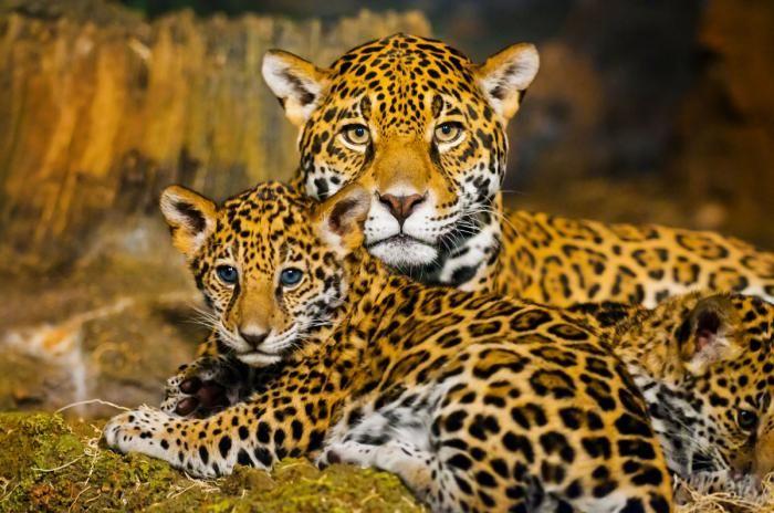 Dieren Schilderijen: Drie Jaguars Geel en Zwart Gestipt Glas Schilderij 120x80