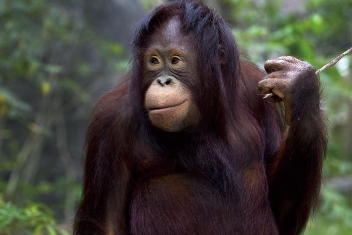 Dieren Schilderijen: Chimpansee Natuur Tak Glas Schilderij 120x80
