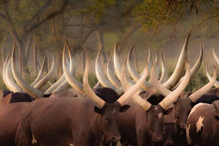 Dieren Schilderijen: Kudde Koeien Ankola Zuid Afrika Glas Schilderij 120x80