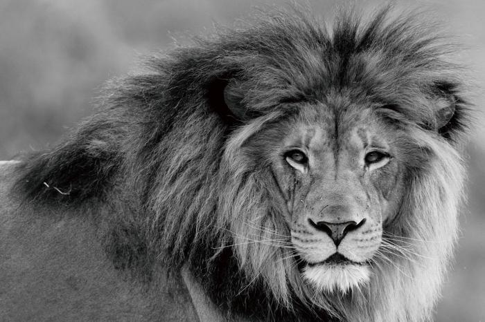 Dieren Schilderijen: Leeuw Grote Manen Katachtig Zwart Wit Foto Glas Schilderij