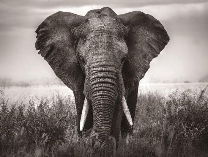 Dieren Schilderijen: Glas schilderij olifant