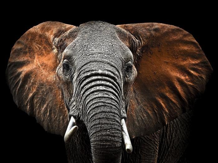 Dieren Schilderijen: Glas schilderij bruine olifant