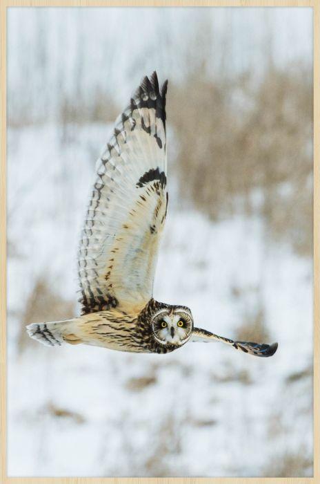 Dieren Schilderijen: Vliegende Uil Forex Schilderij Wandkraft Collectie
