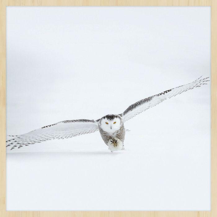 Dieren Schilderijen: Wandkraft forex schilderij vliegende sneeuwuil