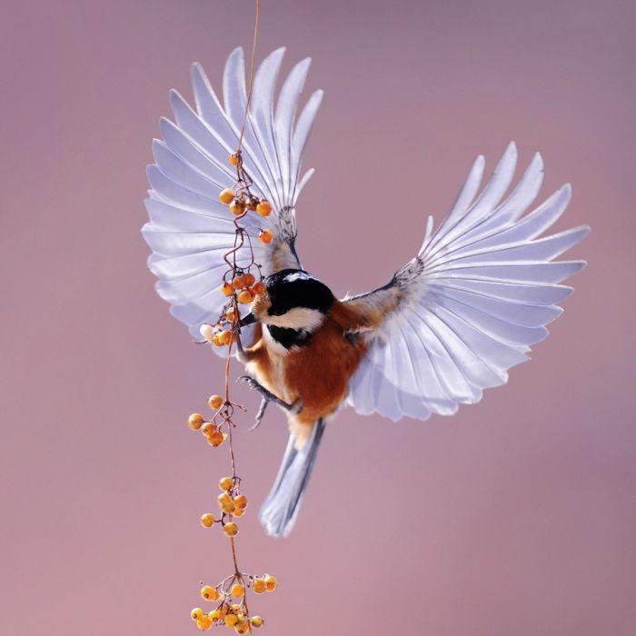 Dieren Schilderijen: Vliegende Vogel Kastanje Rus Mees Wandkraft Dibond Collectie