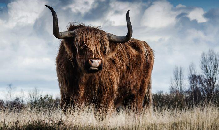 Dieren Schilderijen: Schotse Hooglander Koe Dibond Schilderij Wandkraft Collectie