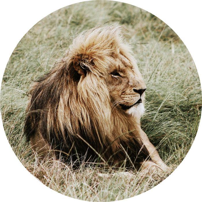 Dieren Schilderijen: Rond glas schilderij foto kunst leeuw hoge gras