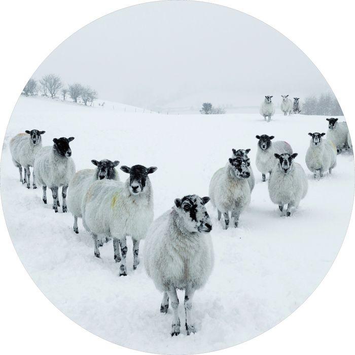 Dieren Schilderijen: Rond Glas schilderij foto kunst kudde schapen