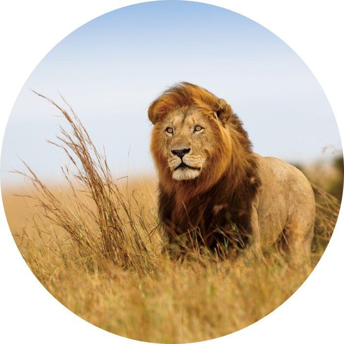 Dieren Schilderijen: Rond glas schilderij foto kunst hoog gras leeuw