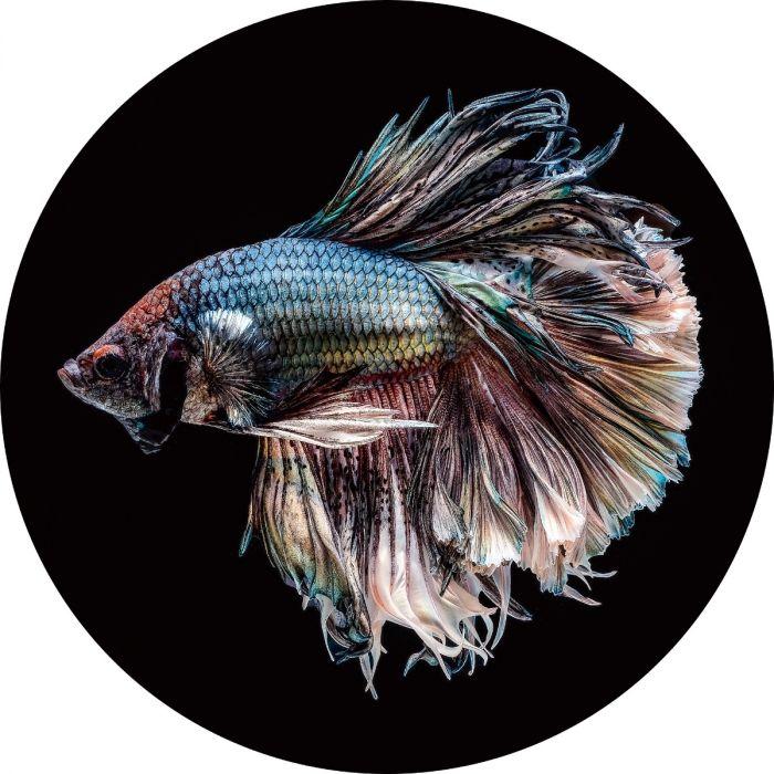Dieren Schilderijen: Vis Siamese Kempvis Rond Glas Schilderij 100 Diameter