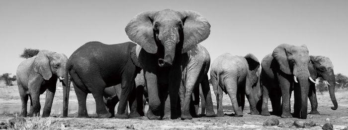 Dieren Schilderijen: Glas schilderij foto kunst kudde olifanten