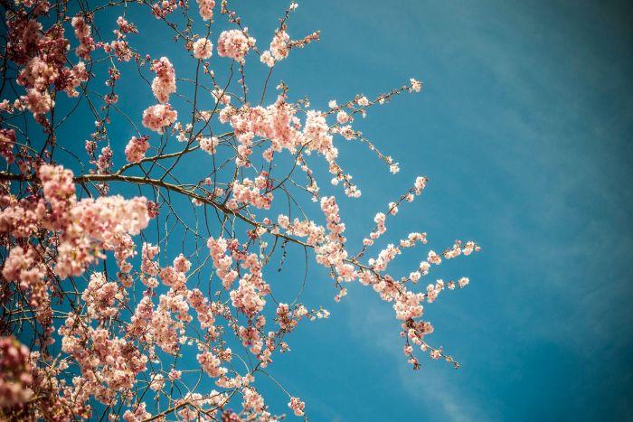 Bloemen Schilderijen: Cherry Bloesem Glas Schilderij 120x80