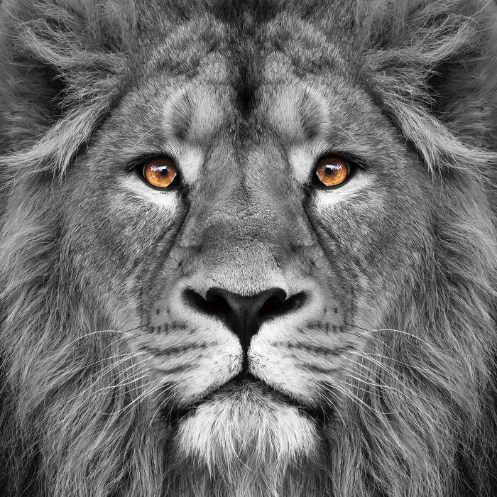 Dieren Schilderijen: Glas schilderij foto kunst leeuw