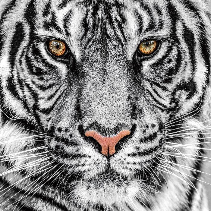 Dieren Schilderijen: Tijger Grijs Wit Zwart Glas Schilderij 80x80