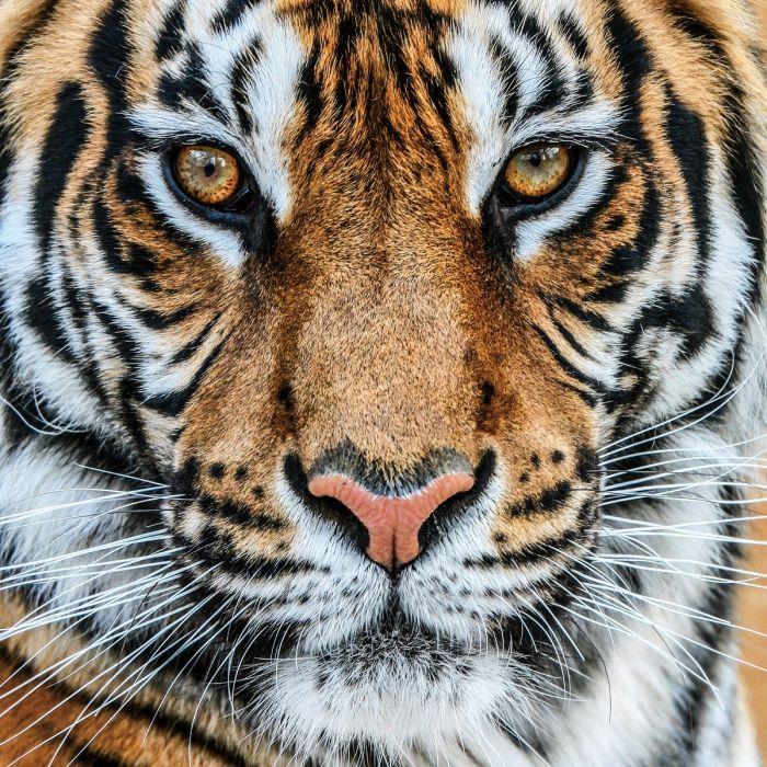 Dieren Schilderijen: Oranje Wit Zwarte Tijger Glas Schilderij 80x80