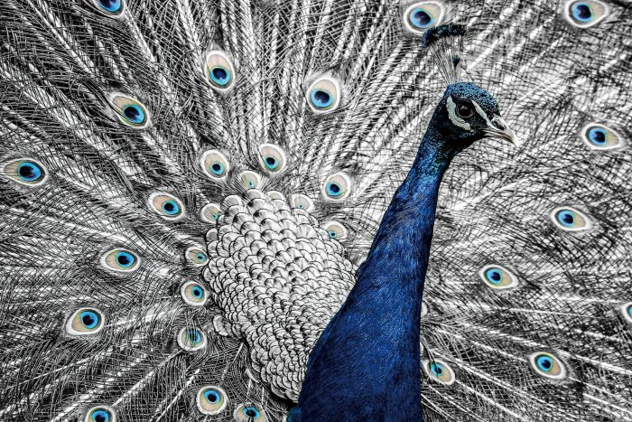Dieren Schilderijen: Blauw Zilveren Pauw Glas Schilderij 120x80