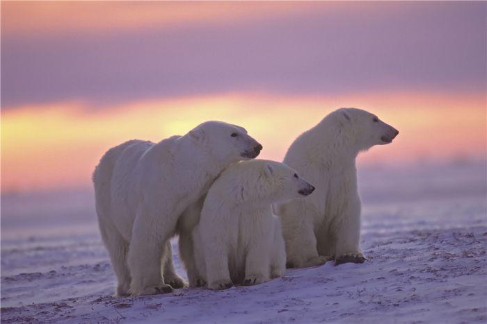 Dieren Schilderijen: Drie ijsberen op de Noordpool met zonsondergang op glas