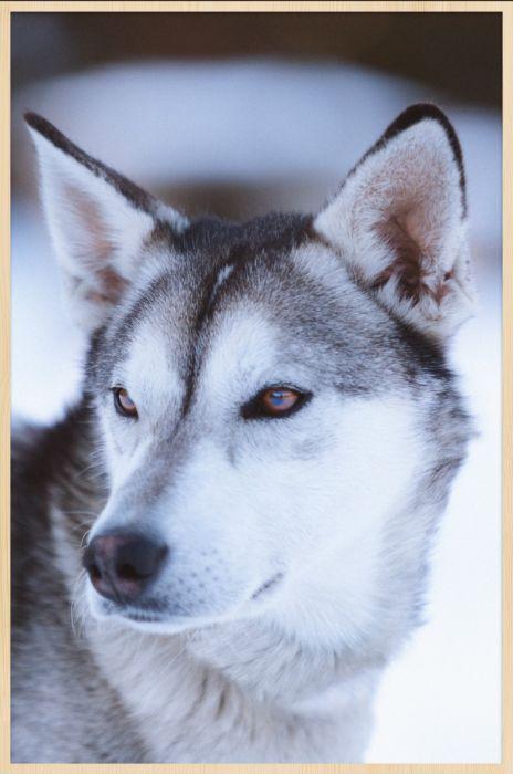 Dieren Schilderijen: Wolf Schilderij Van Forex Materiaal