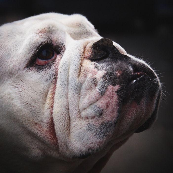 Dieren Schilderijen: Wandkraft dibond schilderij bull dog