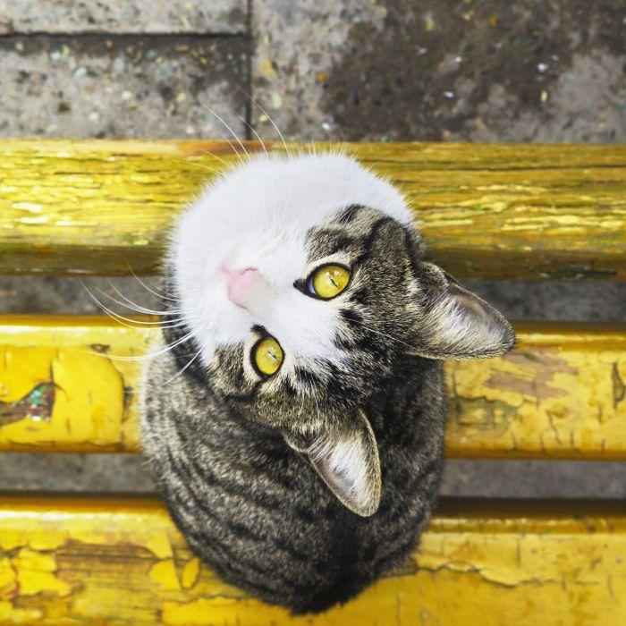 Dieren Schilderijen: Wandkraft dibond schilderij grijs witte kat