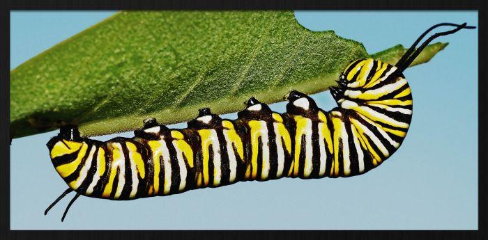 Dieren Schilderijen: Rups Vlinder Monarch Wonderful Life Collectie Wandkraft Forex Schilderij