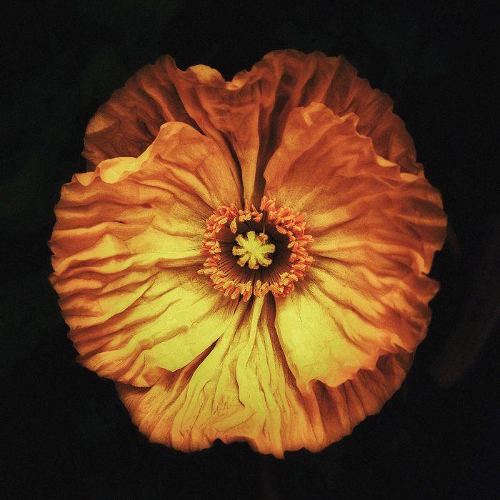 Bloemen Schilderijen: Glas Schilderij Geel Oranje Bloem 74x74