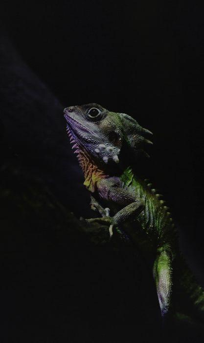 Dieren Schilderijen: Kameleon Reptiel Kleurrijk Wonderful Life Collectie Wandkraft Schilderijen