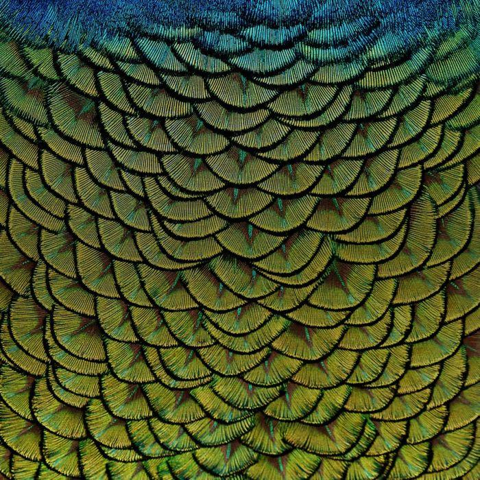 Dieren Schilderijen: RVS schilderij pauw - WONDERFUL LIFE 011 - Wandkraft Collectie
