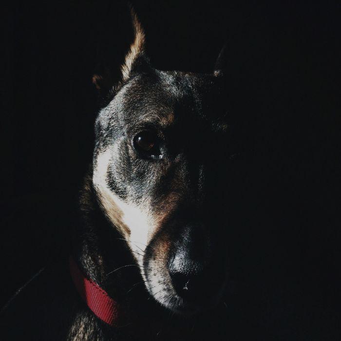 Dieren Schilderijen: Faces Wandkraft Collectie Hond Doberman
