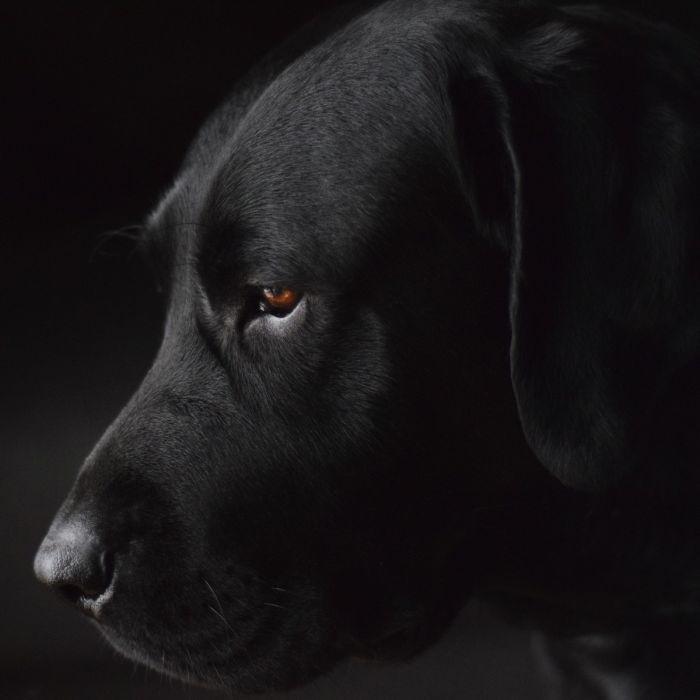 Dieren Schilderijen: Dibond schilderij zwarte labarador