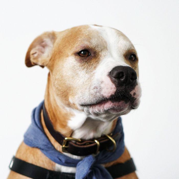 Dieren Schilderijen: Dibond schilderij staffordshire terrier