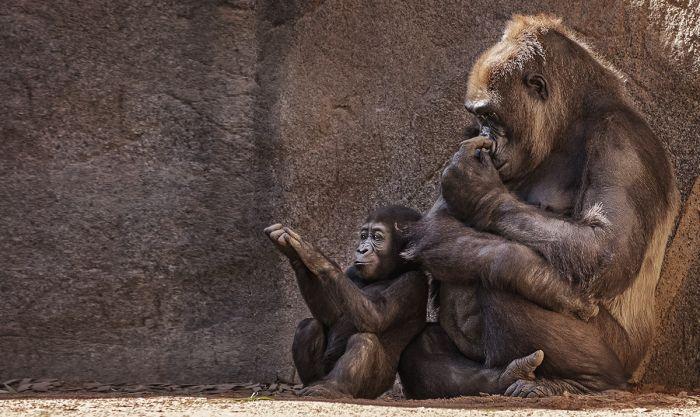 Dieren Schilderijen: Wildlife Collectie Wandkraft Dibond Schilderij Gorilla En Baby